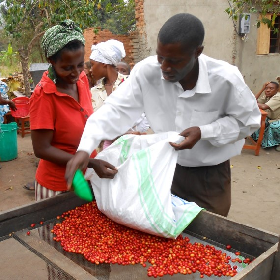 Red Cherry Sorting at Washing Station
